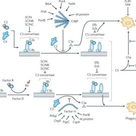 Molecular mechanisms of complement evasion: learning from staphylococci and meningococci