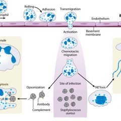Neutrophils versus Staphylococcus aureus: a biological tug of war