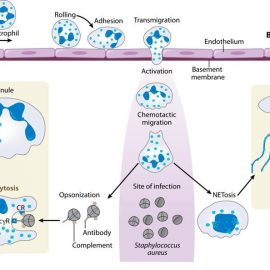 Neutrophils versus Staphylococcus aureus: a biological tug of war