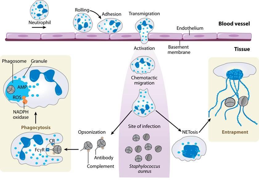Staphylococcus Diagram Phd thesis on staphylococcus aureus
