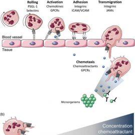 How microorganisms avoid phagocyte attraction