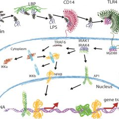 Recognition of LPS by TLR4: potential for anti-inflammatory therapies