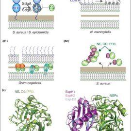 Neutrophil serine proteases in antibacterial defense