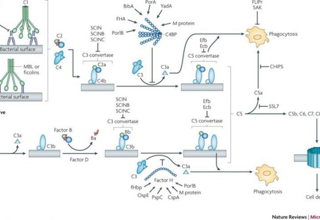 The three pathways of the human complement system and the bacterial factors that target the complement cascade.