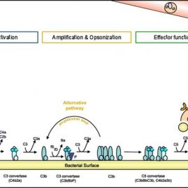 Complement inhibition by gram-positive pathogens: molecular mechanisms and therapeutic implications